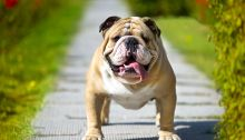 Windows 10 Bulldog Update, un nom qui a du mordant ?