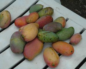 Mango disponible pour tous et mises à jour firmware [MAJ]
